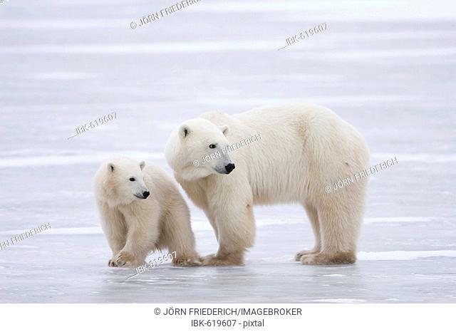 Polar Bear (Ursus maritimus) mother and cub, Churchill, Manitoba, Canada