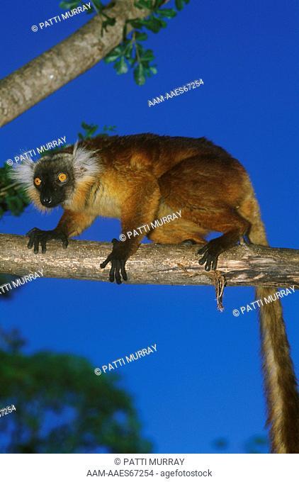 Female Black Lemur (Eulemur macaco), Nosy Komba, Madagascar