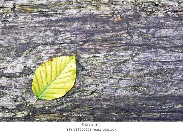 View of autumn beech leaves on old wood