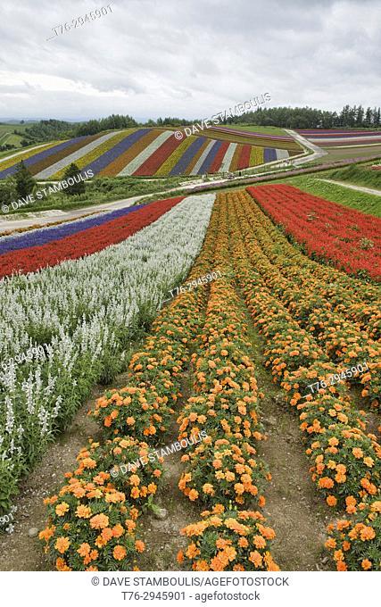 Rainbow fields of silver dust, Lamiaceae, marigolds, and scarlet sage at the flower fields of Shikisai no Oka, Hokkaido, Japan