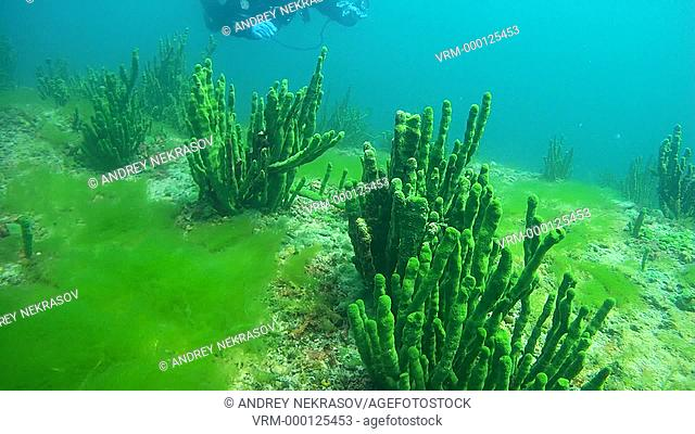 Tech diver swimming near the sheer cliff overgrown Baikal sponges, Demosponge (Lubomirskia baicalensis), Lake Baikal, Siberia, the Russian Federation, Eurasia