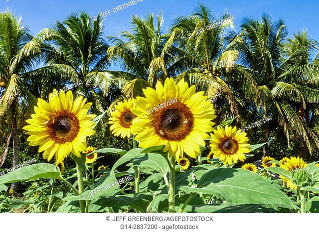 Florida, Homestead, Redland, Robert Is Here, farm stand, agriculture, sunflowers