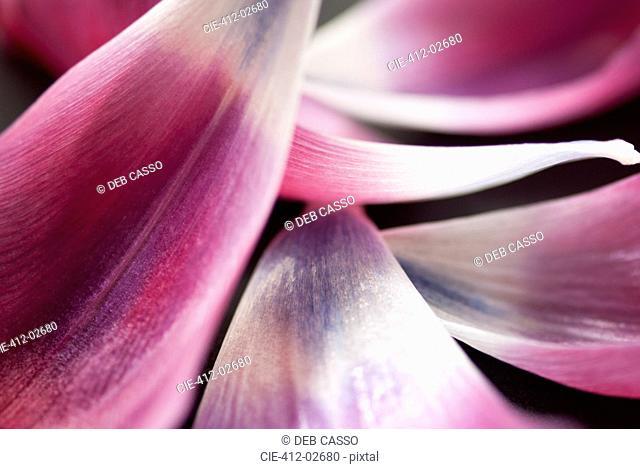 Close up of tulip petals