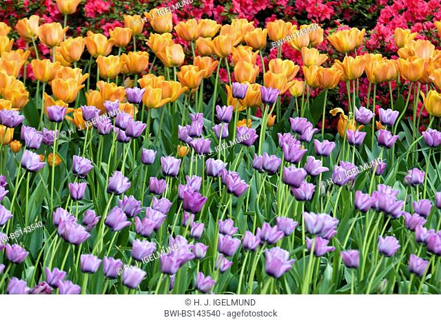common garden tulip (Tulipa spec.), tulip field with different cultivars, Netherlands, Northern Netherlands
