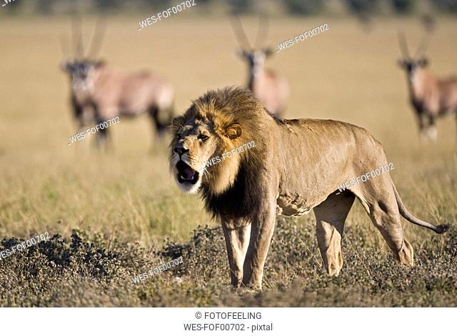 Africa, Botswana, Adult male lion Panthera leo roaring, Oryx herd Oryx gazella in background