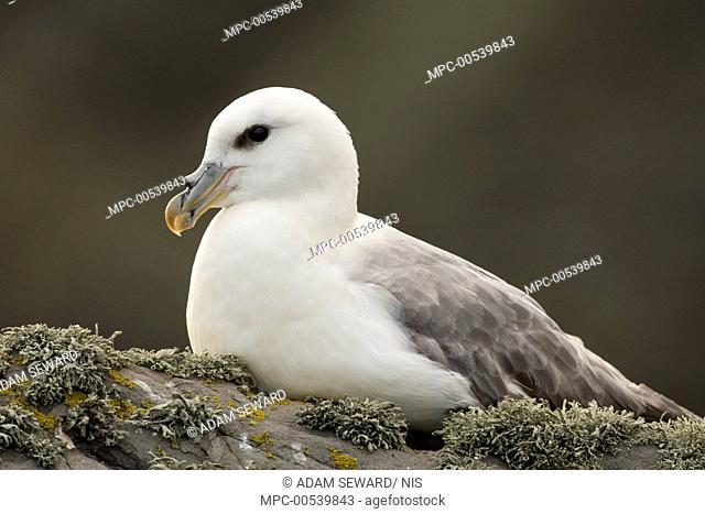 Northern Fulmar (Fulmarus glacialis), Shetland Islands, Scotland, United Kingdom