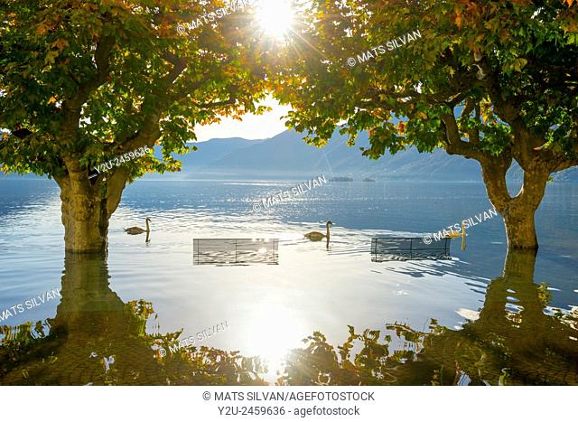 Three swans swimming on flooding alpine lake Maggiore between trees and benches in Ascona, Switzerland