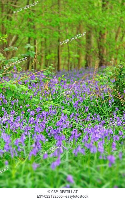 Bluebell flowers in spring forest