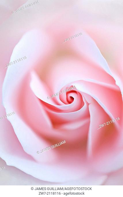 Rosa, rose type floribunda, variety Special Child (Taniripsa)