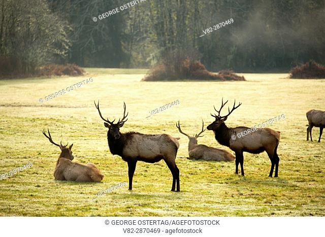Roosevelt elk, Jewell Meadows Wildlife Area, Oregon
