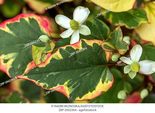 Houttuynia cordata perennial flowers for shady parts of a garden known as lizard tail, chameleon plant, heartleaf, fishwort, and bishop's weed