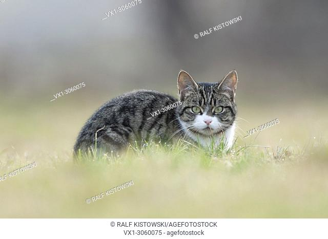 Felis silvestris catus / Domestic cat, Cat, with nice clear eyes lying in grass, watching to the photographer. Germany