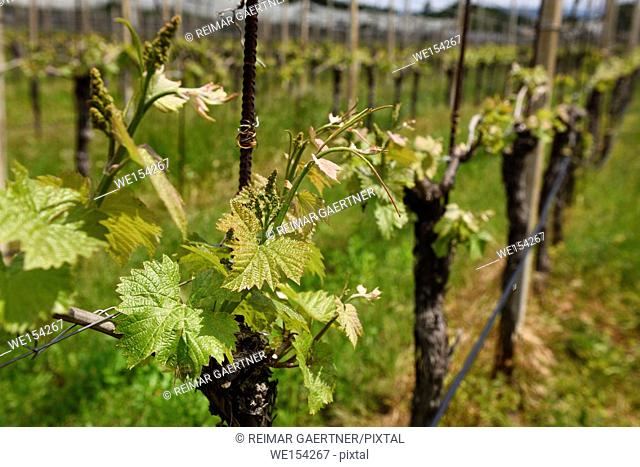 Rows of grape vines in a vineyard in Spring with emerging leaves and grapes in Kriz Sezana Slovenia