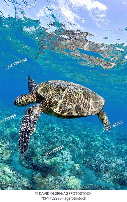 Green sea turtle at Lahaina, Maui, Hawaii