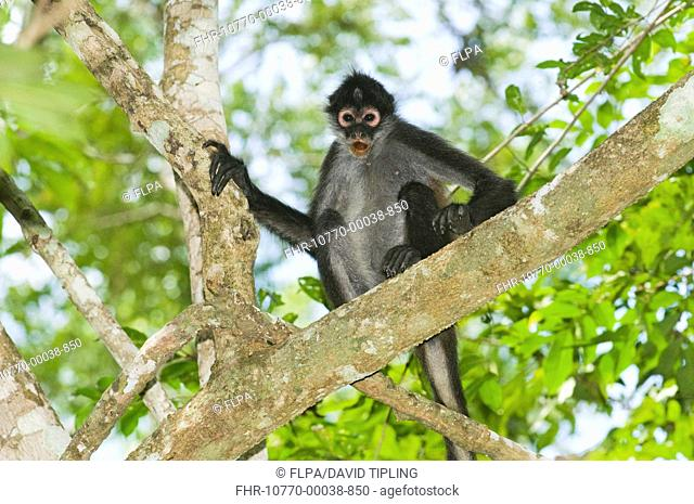 Black-handed Spider Monkey Ateles geoffroyi adult, sitting on branch in lowland tropical forest, Tikal N P , Peten, Guatemala
