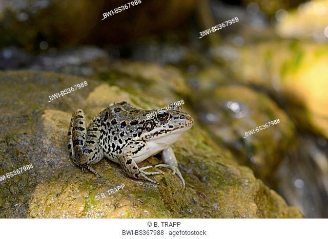 marsh frog, lake frog (Rana ridibunda, Pelophylax ridibundus), sitting on a stone in a creek, Turkey, Thrace