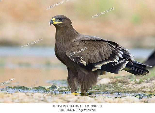Steppe Eagle, Juvenile at drinking pool, Salalah, Dhofar, Oman (Aquila nipalensis)