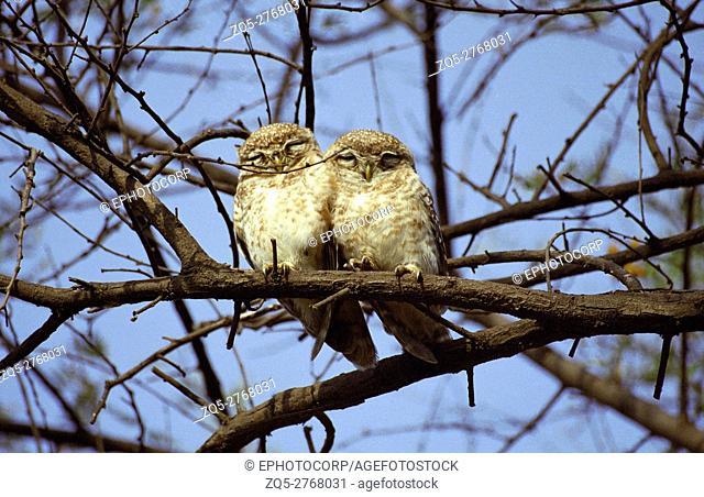 Spotted Owlets, Athene brama, Keoladeo National park, Rajasthan, India
