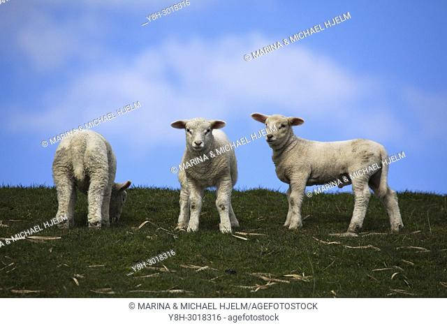 Domestic Sheep; Ovis aries; Schleswig-Holstein; Germany