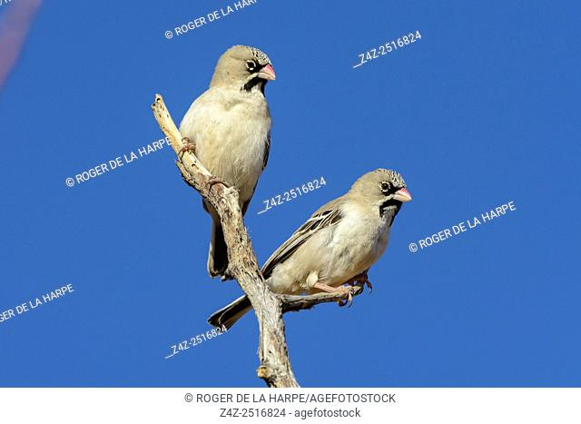 Scaly-feathered weaver (Sporopipes squamifrons). Sossusvlei. Namib-Naukluft National Park. Near Sesriem. Namibia