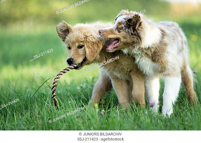 Australian Shepherd puppy and Golden Retriever puppy playing with multicoloured rope. Germany