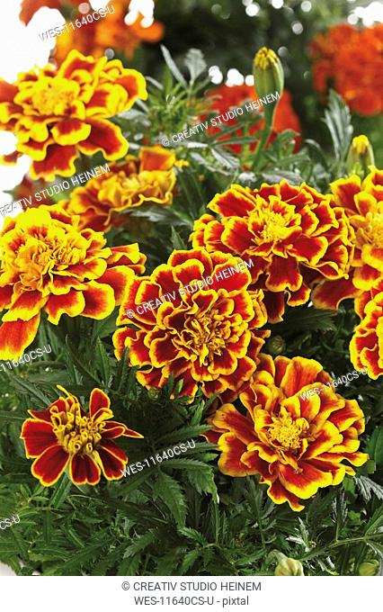Tagetes flowers, close-up