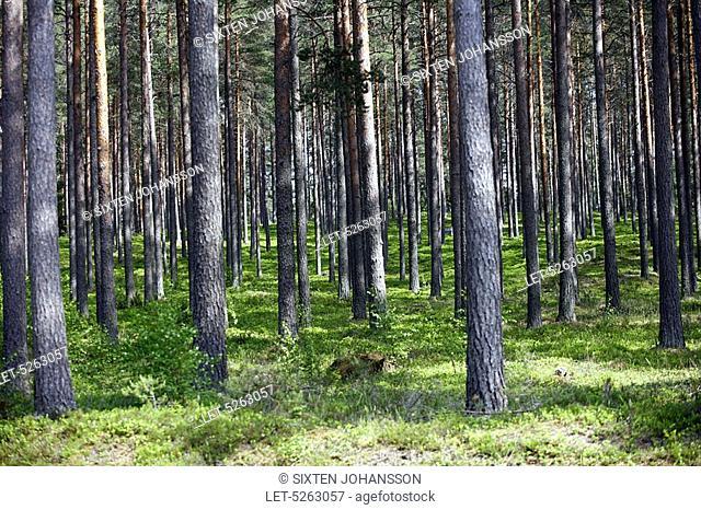 Forest with pine trees on a sandy heath  Tenhola Tenala, Finland