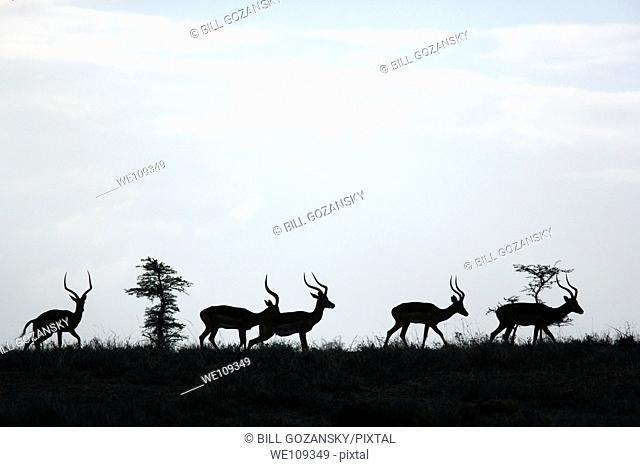 Group of Impala - El Karama Ranch, Laikipia Region, Kenya