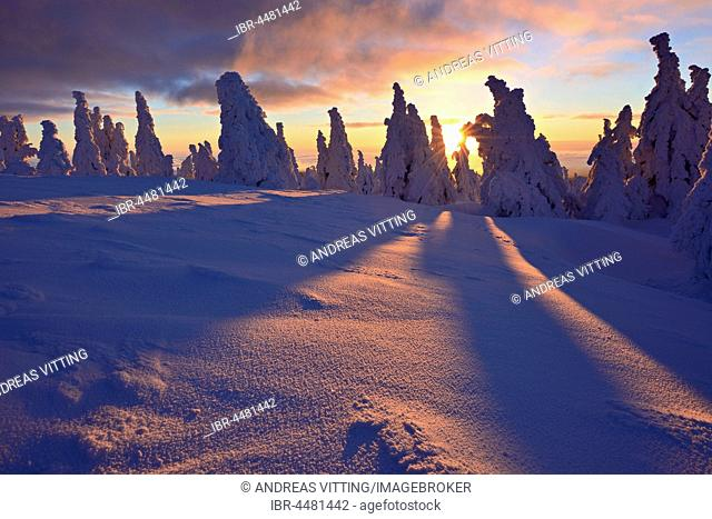 Sunrise on the Brocken, winter, snow-covered pines, Harz National Park, Saxony-Anhalt, Germany