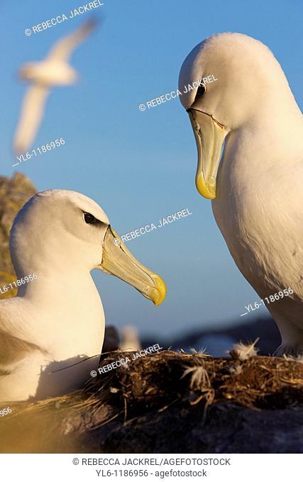 Australia, Tasmania, Bass Straits  Shye Albatross