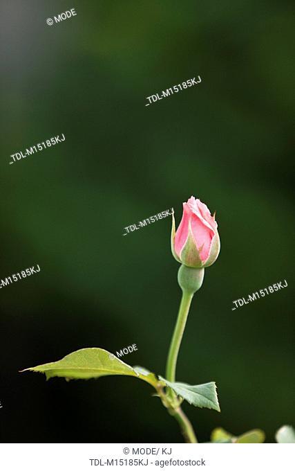 A pink rose bud