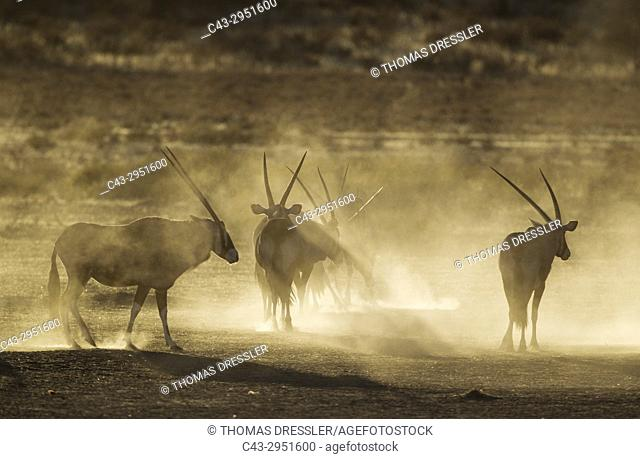 Gemsbok (Oryx gazella). Nervous and raising lots of dust in the early morning. Kalahari Desert, Kgalagadi Transfrontier Park, South Africa
