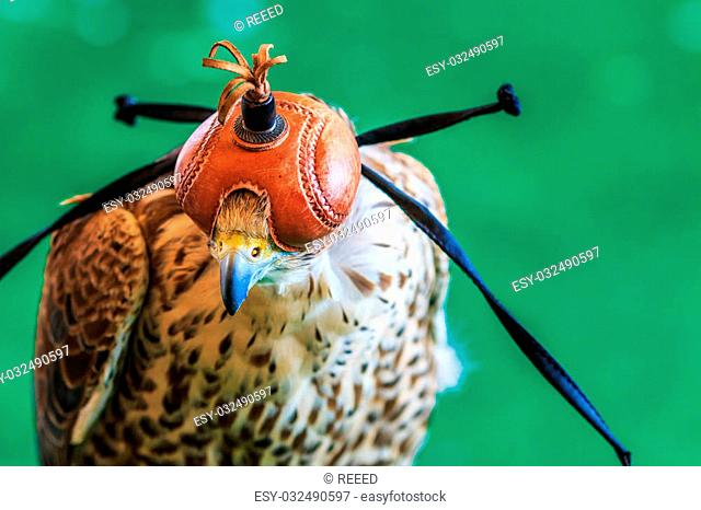 A Red-tailed hawk (Buteo jamaicensis) covered with falconry mas