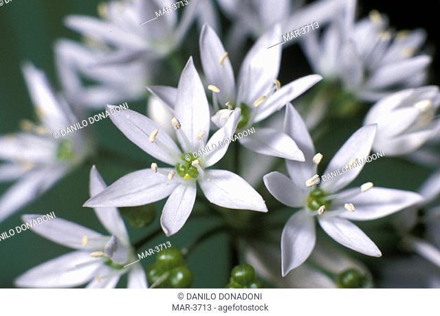 allium ursinum flowers, alzano lombardo, italy