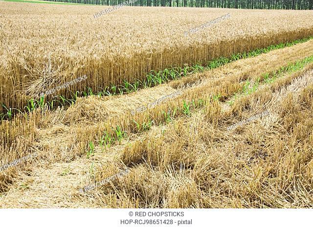 Wheat crop in a field, Zhigou, Shandong Province, China