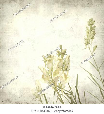 textured old paper background with yellow toadflax flowers