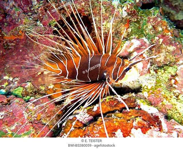 radial firefish, longhorn firefish, clearfin turkeyfish (Pterois radiata), on sea ground, Egypt, Red Sea, Safaga
