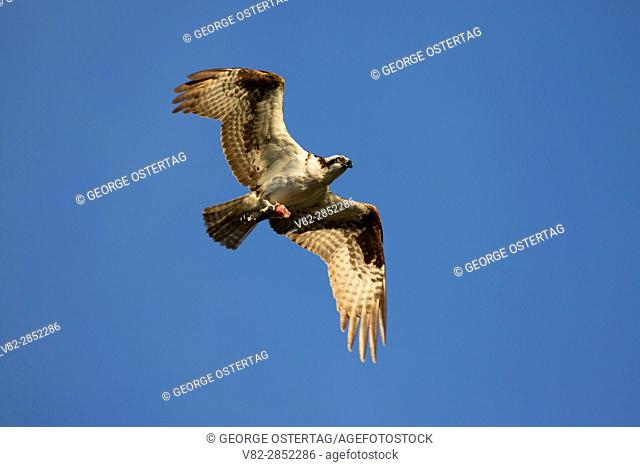 Osprey in flight, Rooster Rock State Park, Columbia River Gorge National Scenic Area, Oregon