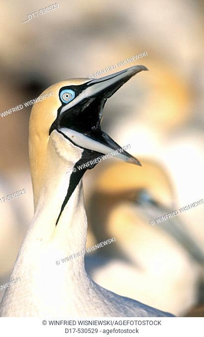 Cape gannet (Morus capensis). Bird Island. Lambert's Bay