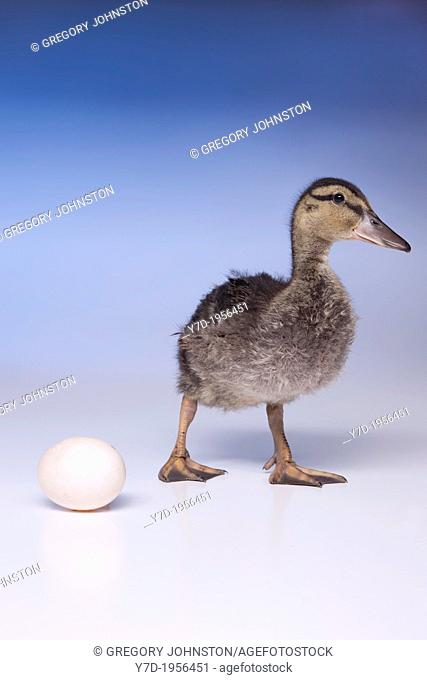 An older duckling starting to walk away from the duck egg
