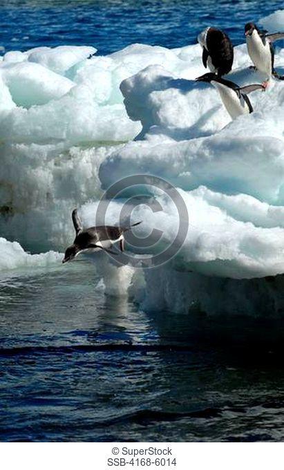 ANTARCTICA, PAULET ISLAND, BEACH, ADELIE PENGUINS ON ICE PEBBLES JUMPING INTO SEA