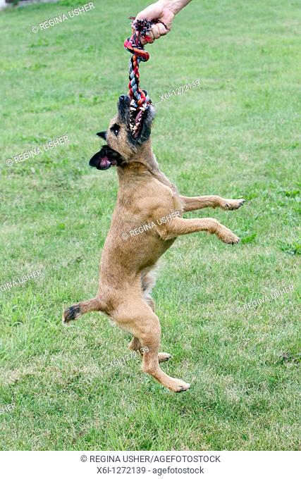 Westfalen Terrier, playing with toggle rope, Lower Saxony, Germany