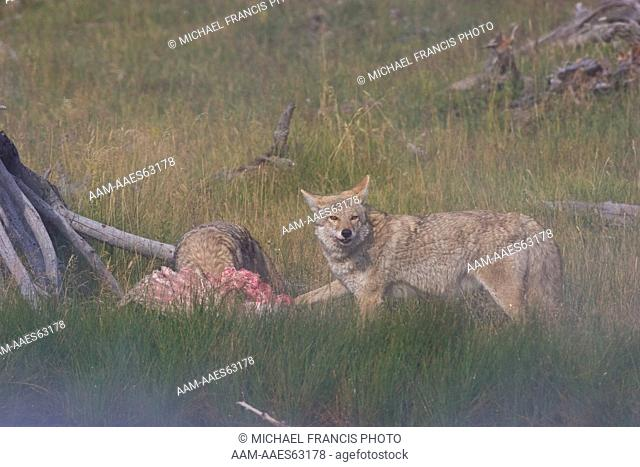 Coyote (Canis latrans), two feeding on elk carcass in morning fog Yellowstone National Park Wyoming