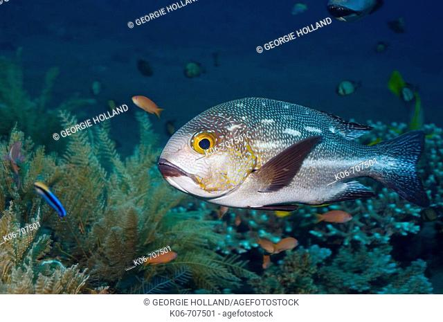 Midnight snapper, Blac-and-white snapper (Lutjanus macularis).  Bali, Indonesia