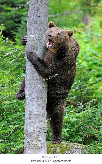 European brown bear (Ursus arctos arctos), trying to climb a tree, Germany, Bavaria