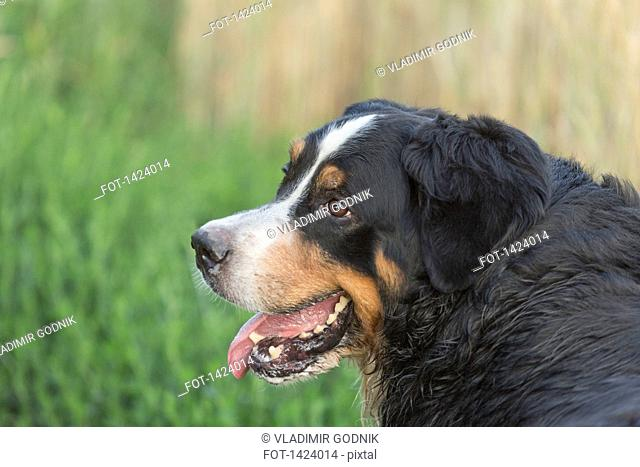 Close-up of Border Collie looking away in lawn