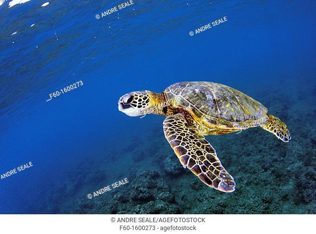 Green sea turtle, Chelonia mydas, Ko'olina, Oahu, Hawaii, North Pacific