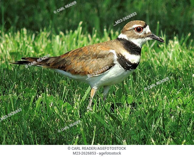A killdeer, Charadrius vociferus, takes its rest on a lawn, Pennsylvania, USA