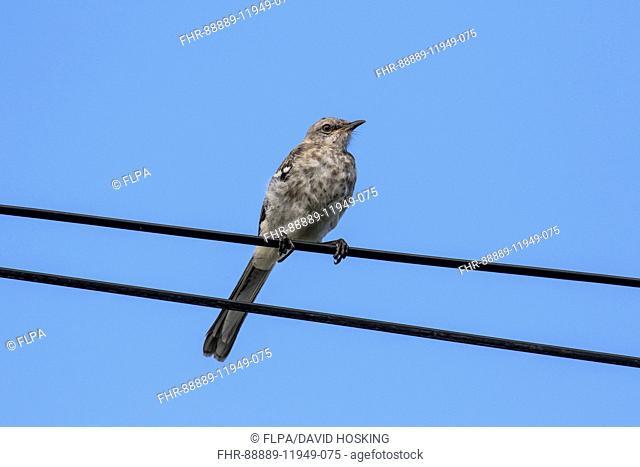 Northern Mockingbird juvenile - Cape May, East coast USA