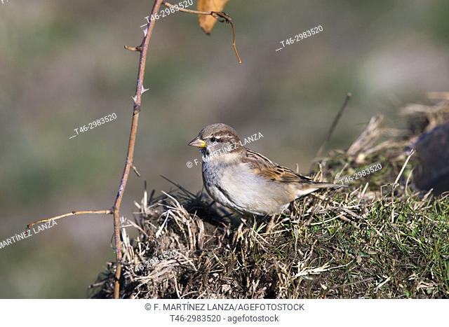 Common sparrow (Passer domesticus), photographed in the Tietar Valley, Toledo